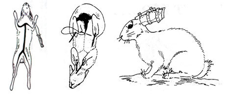 rabbit taxidermy diagrams